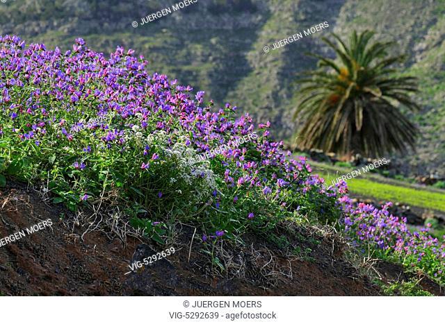 10.02.2015, Spain, ESP, Canary Islands, Lanzarote, Famara, colorful Spring Flower Field near Haria. - Haria Lanzarot, Spain, 10/02/2015