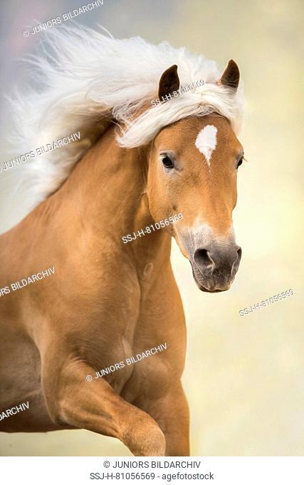 Haflinger Horse. Portrait of a stallion. South Tyrol, Italy