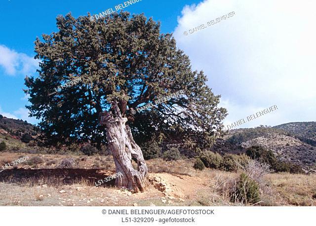 Spanish Juniper (Juniperus thurifera). Rincón de Ademuz. Comunidad Valenciana. Spain