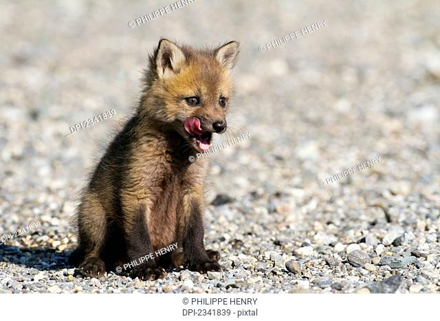 Red fox (Vulpes vulpes) cub standing on a forest road to warm up, Gaspesie national park; Quebec, Canada