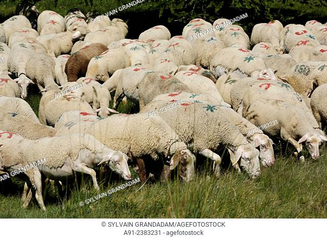 France, Provence, Hautes Alpes (05), Risoul, Shepherd Olivier Jego and his ewe sheeps herd