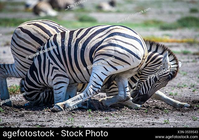 Burchell's zebras (Equus quagga burchellii) engaging in play fighting, Etosha National Park, Namibia