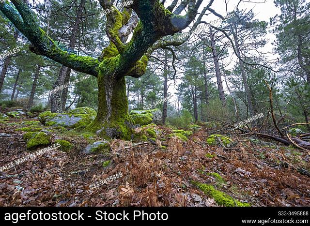 Oaks with moss and pines at Graja gorge. Sierra de Gredos. Avila. Spain. Europe