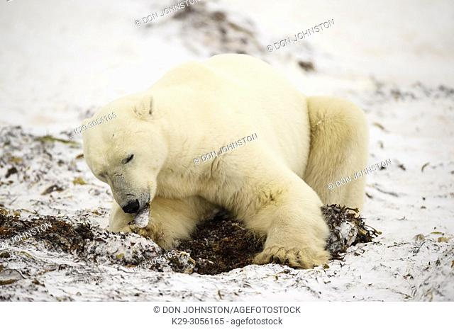 Polar Bear (Ursus maritimus) Excavating day bed in seaweed, Churchill Wildlife Management area, Churchill, Manitoba, Canada