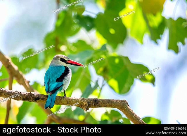 Woodland kingfisher perching on branch, Halcyon senegalensis, Wondo Genet, Ethiopia Africa safari wildlife
