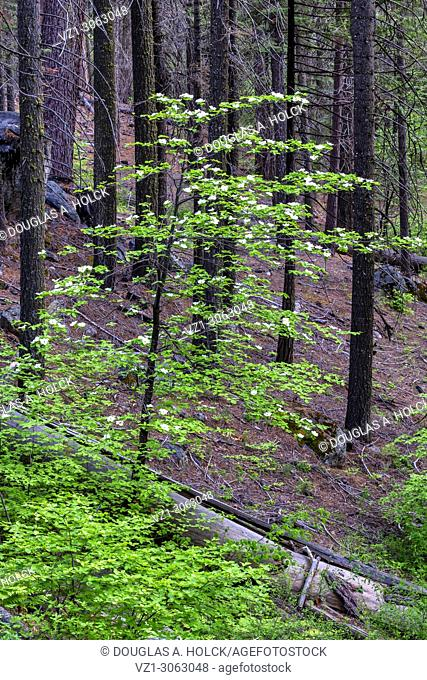 Dogwood in Burned Forest, Yosemite NP, USA