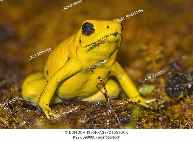 "Golden poison frog (Phyllobates terribilis) """"yellow"""", Understory Enterprises, Captive raised, Native to: Colombia"