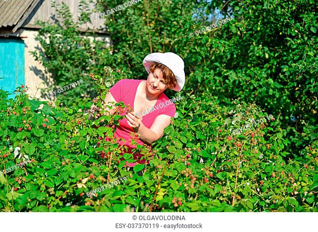 Woman reaps a crop of a raspberries in the garden