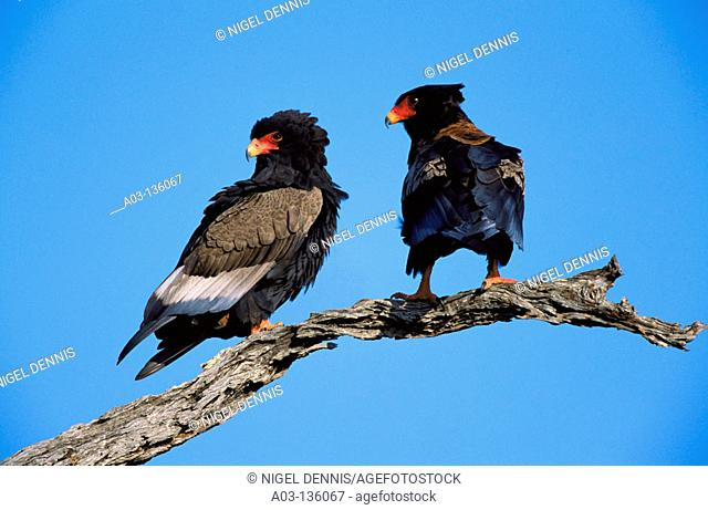 Bateleur Eagle (Terathopius ecaudatus). Kruger National Park, South Africa