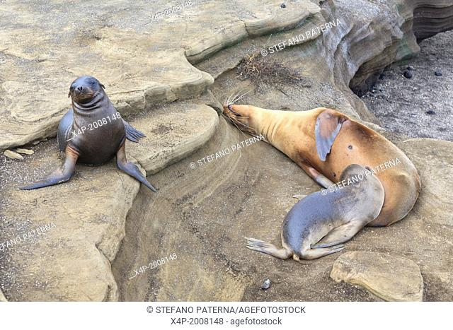 Galapagos sea lion, Zalophus wollebaeki, Puerto Egas, Santiago Island, Galapagos Islands, Ecuador