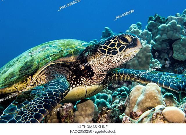 Underwater view of a Green Sea Turtle (Chelonia mydas); Maui, Hawaii, United States of America