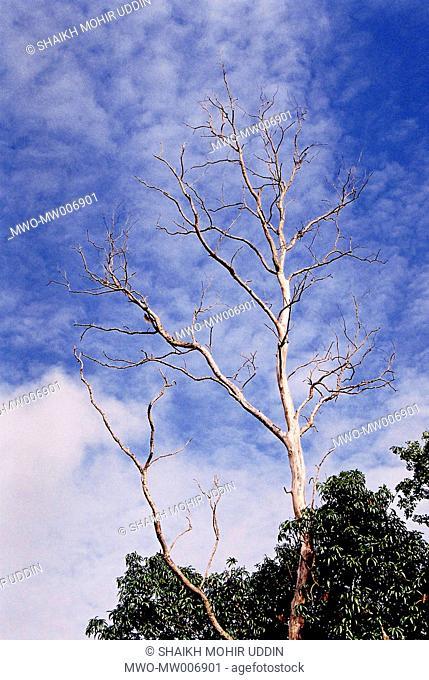A dying Sishu tree The tree is dying due to viral disease Amjhupi, Meherpur, Bangladesh July 1, 2007
