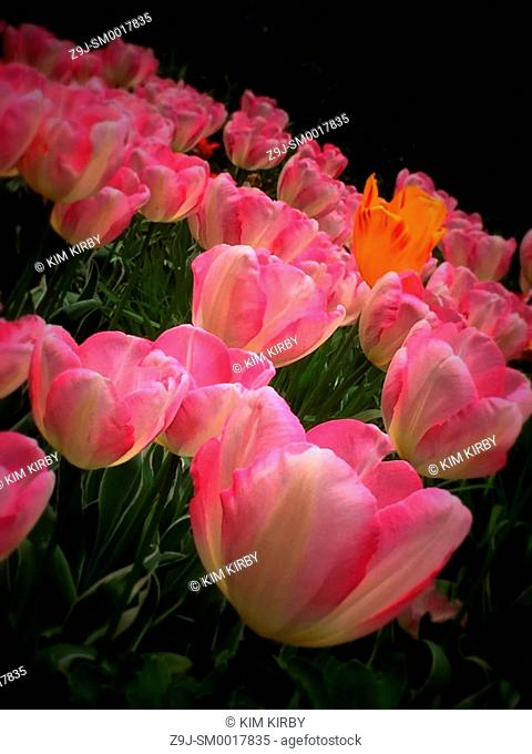 Pink tulips in the garden England UK United Kingdom GB Great Britain