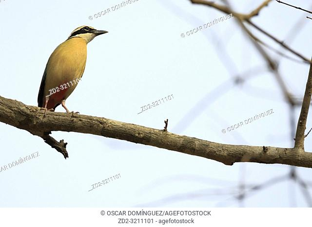 Indian Pitta (Pitta brachyura) perched on branch. Corbett National Park. Uttarakhand. India