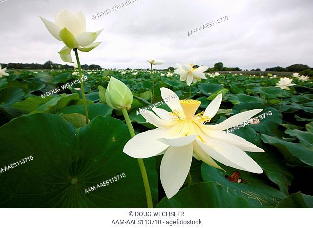 American Lotus; Nelumbo lutea; NJ, Salem Co., Mannington Marsh