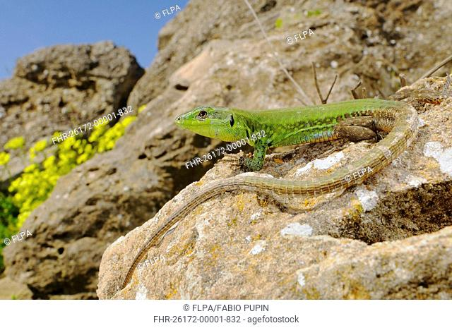 Sicilian Wall Lizard Podarcis wagleriana adult male, basking on rock in habitat, Sicily, Italy