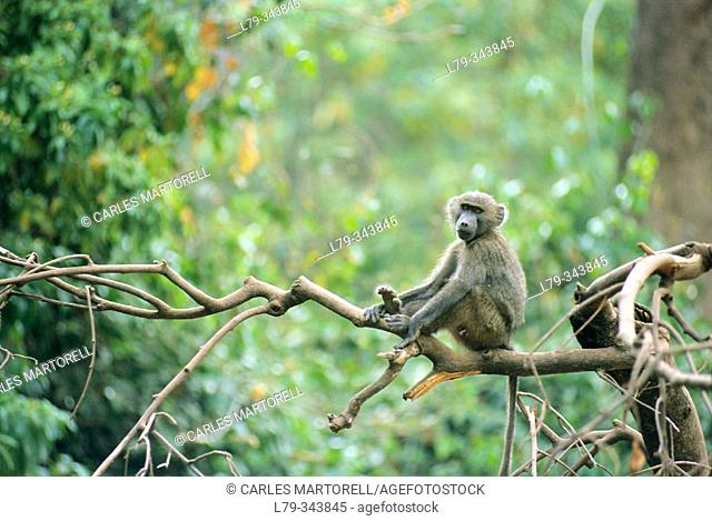 Yellow Baboon (Papio cynocephalus). Lake Manyara National Park, Tanzania