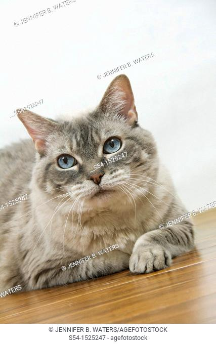 A housecat sitting on the floor indoors