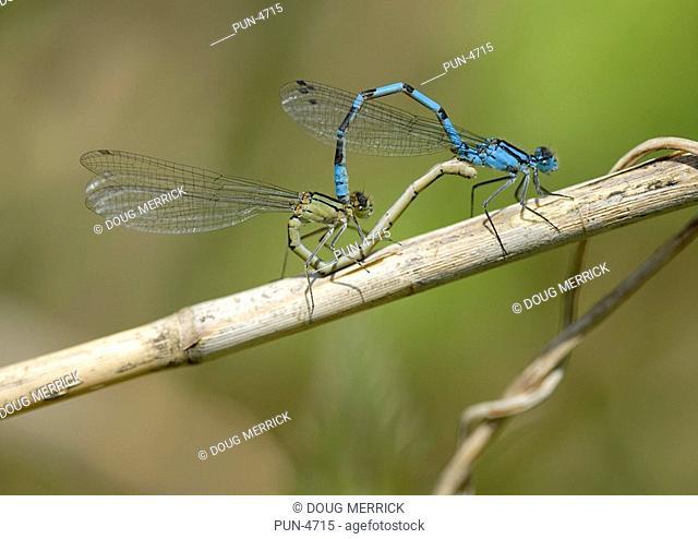 Common blue damselfly Enallagma cyathigerum mating pair in wheel position