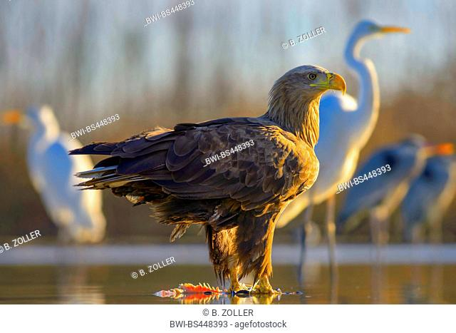 white-tailed sea eagle (Haliaeetus albicilla), standing in morning light with prey in shallow water, grey herons and great egrets in the background , Hungary