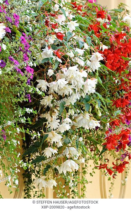 Begonias (Begonia)
