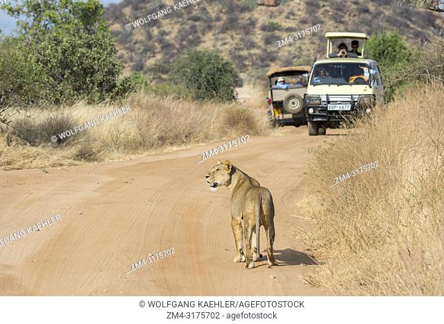 A lioness (Panthera leo) is walking on a road looking for prey in the Samburu National Reserve in Kenya with safari vehicle in the background