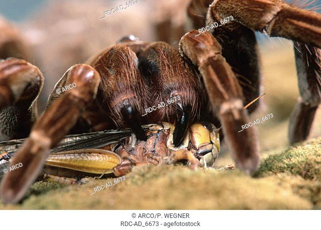 Tarantula Spider with prey eating grasshopper Pamphobeteus platyomma Pamphobeteus roseus
