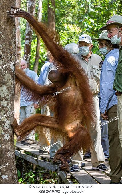 Young orangutan, Pongo pygmaeus, with tourist at the Orangutan Foundation Care Center, Camp Leakey, Borneo, Indonesia