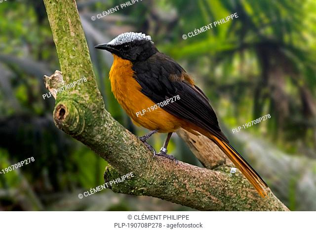Snowy-crowned robin-chat / snowy-headed robin-chat (Cossypha niveicapilla) perched in tree, native to tropical forests in Africa