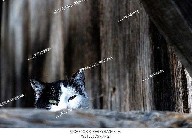 Cat in Asturias, Spain, Europe