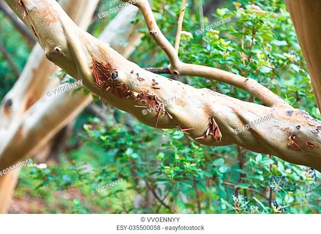 branch of arbutus andrachne tree (greek strawberry tree) in autumn