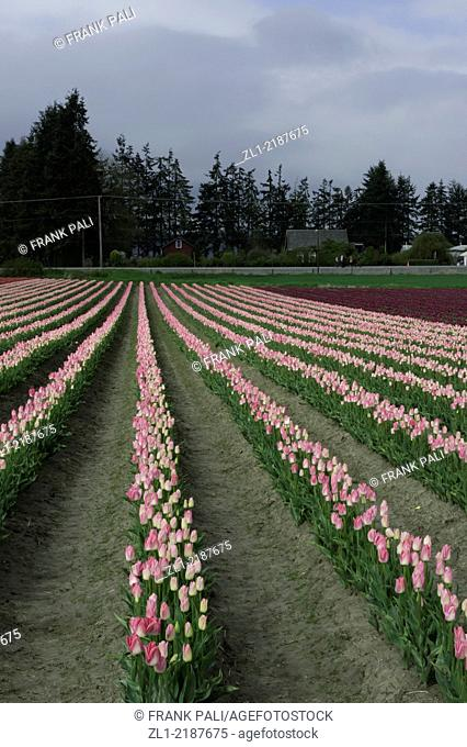 Commercial Tulip farm near La Conner during anual Tulip Festival in April and May, Washington