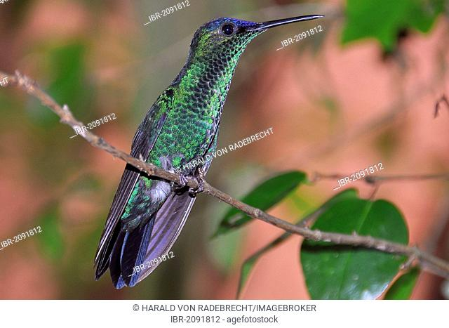 Violet-capped Woodnymph (Thalurania glaucopis, or Trochilus glaucopis) perched on a twig, Ilha Grande, Brazil, South America