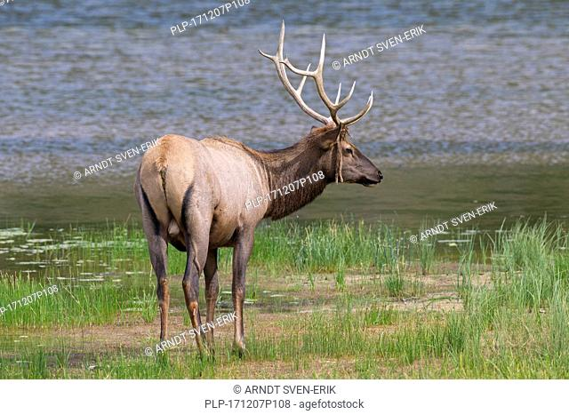 Elk / wapiti (Cervus canadensis) bull with velvet dangling from antlers on lake shore in summer, Jasper National Park, Alberta, Canada