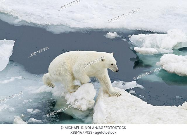 An adult polar bear Ursus maritimus leaping from ice floe to ice floe in the Svalbard Archipelago, Norway