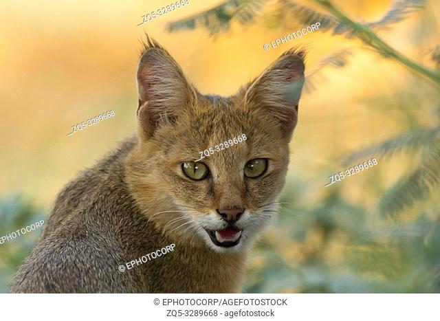 Jungle cat, Felis chaus, India
