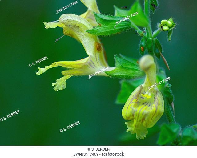 Hardy sage, Sticky sage (Salvia glutinosa), flowers, Germany, Bavaria, Oberbayern, Upper Bavaria