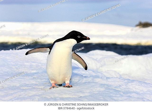Adélie Penguin (Pygoscelis adeliae), adult, Antarctica