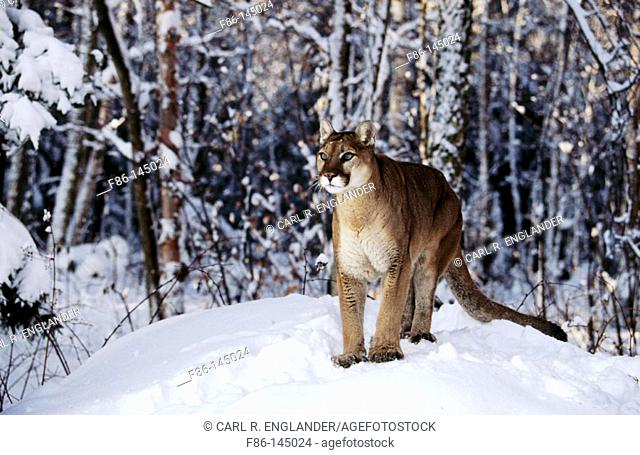 Adult Mountain Lion (male, 2 years old) (controlled / captive animal) in winter snow, Felis concolor, Vermont, USA