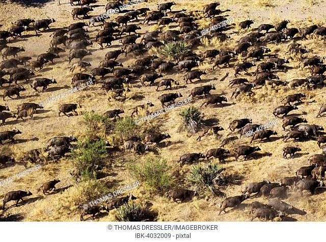 Cape Buffaloes (Syncerus caffer caffer), roaming herd, Okavango Delta, Botswana