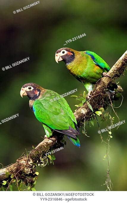 Brown-hooded Parrots (Pyrilia haematotis) - La Laguna del Lagarto Lodge - Boca Tapada, San Carlos, Costa Rica