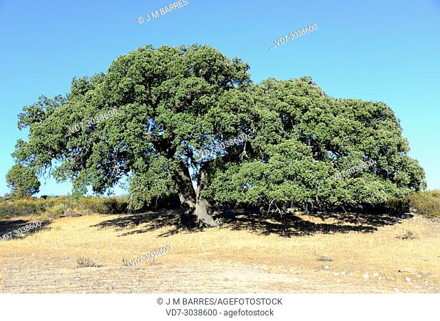 Evergreen oak, holly oak or holm oak (Quercus ilex rotundifolia or Quercus ballota) is a evergreen tree native to Iberian Peninsula and north Africa
