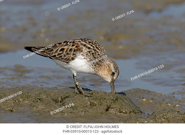 Red-necked Stint (Calidris ruficollis) adult, breeding plumage, foraging on tidal mudflats, Mai Po Marshes Nature Reserve, New Territories, Hong Kong, China