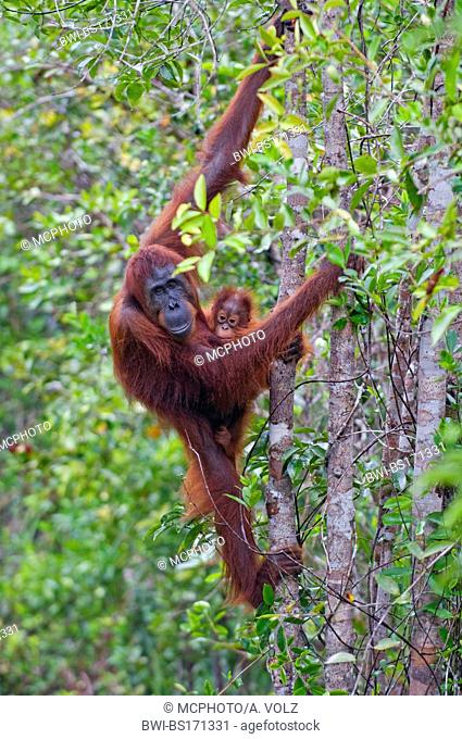 female with baby, Indonesia, Borneo, Tanjung Puting National Park