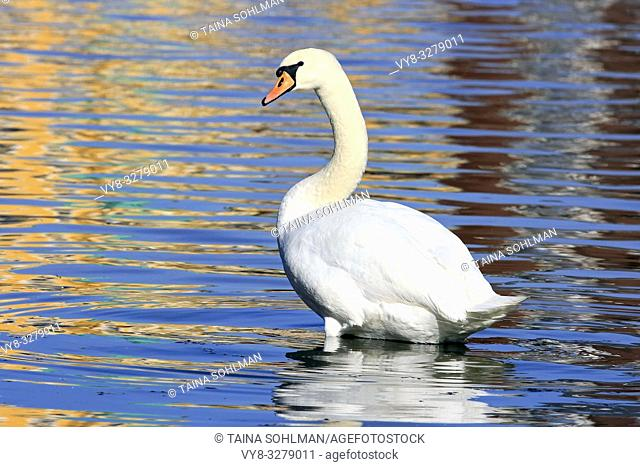 Mute Swan, Cygnus olor, by seashore with beautiful reflections on water