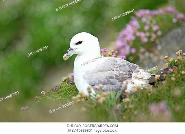 Fulmar - resting on cliffs edge amongst Sea Thrift (Fulmarus glacialis). Sumburgh Head - Shetland Islands - Scotland