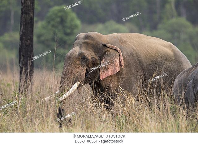 Asia, India, Uttarakhand, Jim Corbett National Park, Asian or Asiatic elephant (Elephas maximus), one animal in the grassland