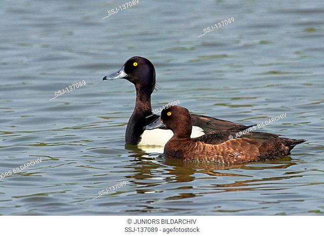 Tufted Ducks male and female in water / Aythya fuligula