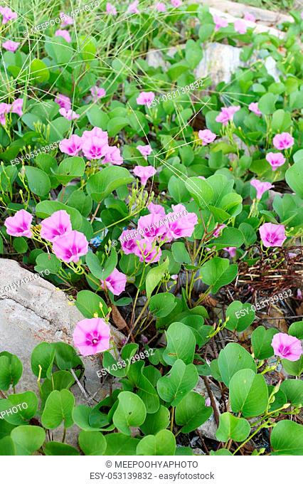 Blooming Ipomoea flower or Beach morning glory near the coast in Thailand