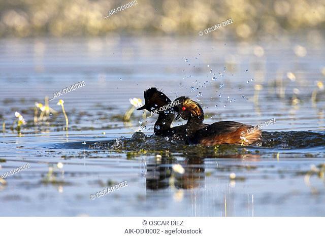Black-necked Grebe between blooming Pond Water-crowfoot